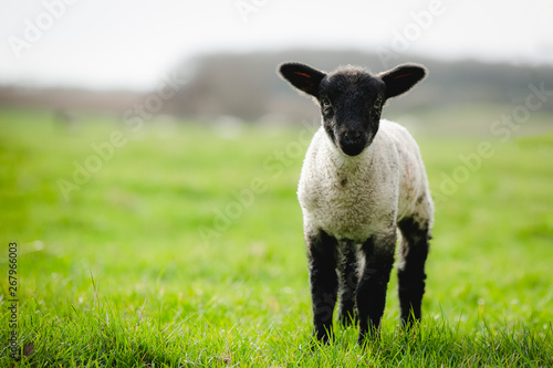 Foto op Canvas Schapen Little spring lamb on farmland