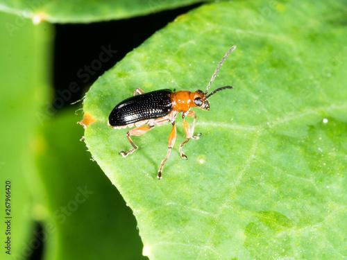 Fotografie, Tablou Bombardier beetle with black wing waling on green leaf  in garden