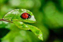 Ladybird Sitting On A Green Ro...