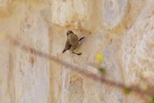 Gray Female Palestine Sunbird ...
