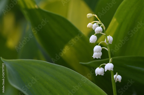 Deurstickers Lelietje van dalen Forest lilies of the valley bloom in the spring forest