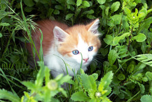 Little Red Kitten Playing In T...