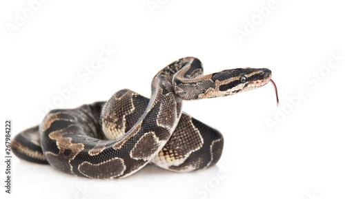 Valokuva Royal Python, or Ball Python (Python regius) in side view