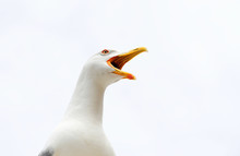 Angry Screaming Seagull