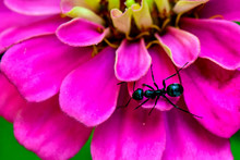Black Ant On A Bright Pink Zinnia