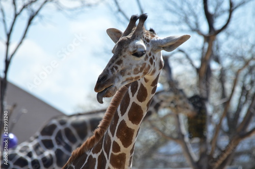 Photo  A giraffe in the outdoors