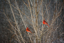 Male Cardinals In Winter