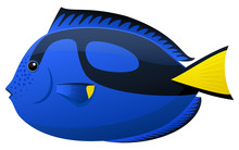 Vector Illustration Of A Blue Tang (paracanthurus) Tropical Fish.