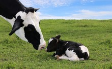 Close Up Of Holstein Cow Head As She Watches Over Her Newborn Calf