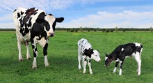 Holstein Cow Standing Outside In The Field With Her Newborn Twin Calves On A Summer Day