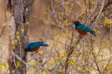 Superb Starling, Two Iridescent Colorful Birds Perched On Branches (Lamprotornis Superbus, Spreo Superbus),  Samburu National Reserve, Kenya, Africa