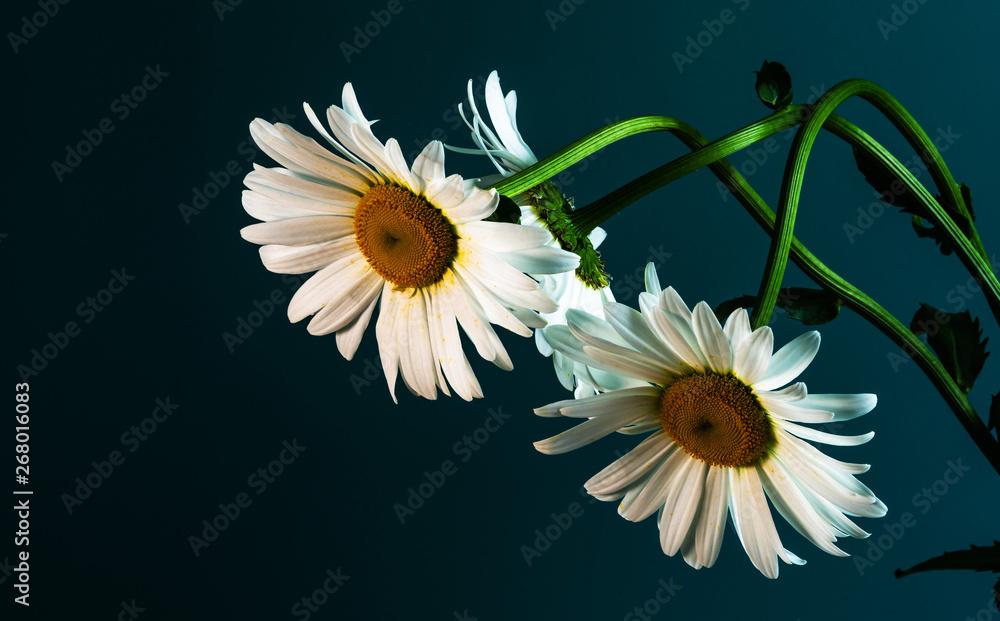 Fototapeta daisy flower on a beautiful background