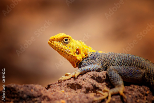 Close up photo of yellow and blue colored lizard, rock agama Wallpaper Mural