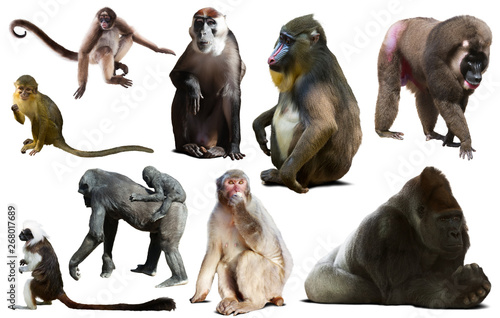 Papiers peints Singe primates isolated on white