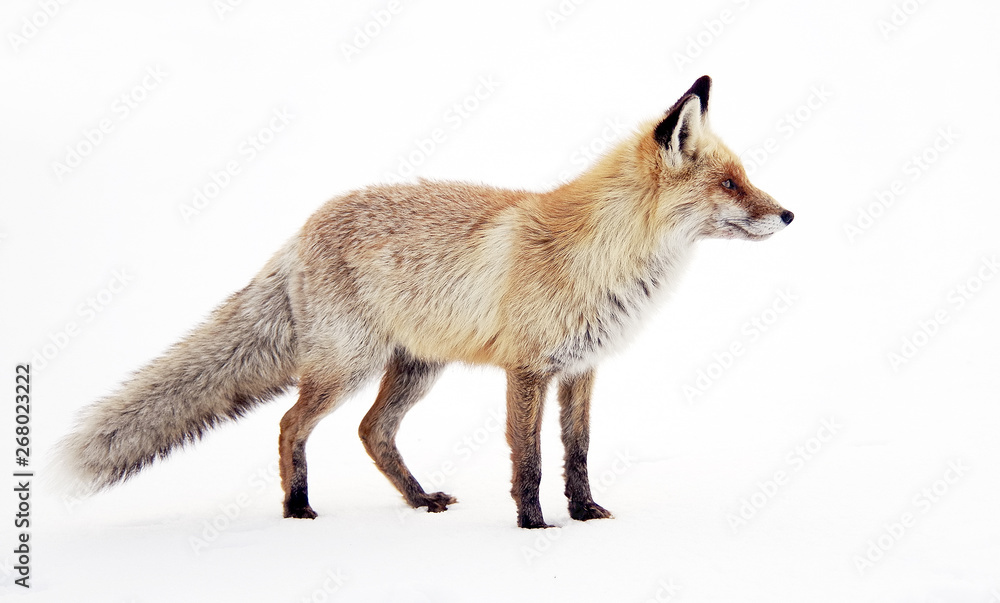 Fototapeta Image of a wild fox in winter natural habitat