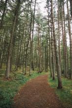 Path Through Tall Pines