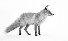 Image Of A Wild Fox In Winter Natural Habitat