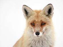 Wild Fox In Winter Natural Habitat