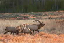 Elk, Wapiti, Cervus Canadensis, Yellowstone National Park