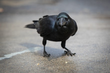 Black Japan Crow Eating French Fries At The Street Of Kyoto