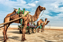 Three Brown Camels With Carriages During Daytime