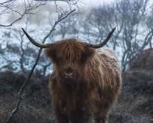 Yak By Bare Branches