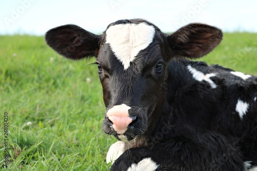 Close-up of face and head of hour old Holstein calf laying in the grass with ref Fototapeta