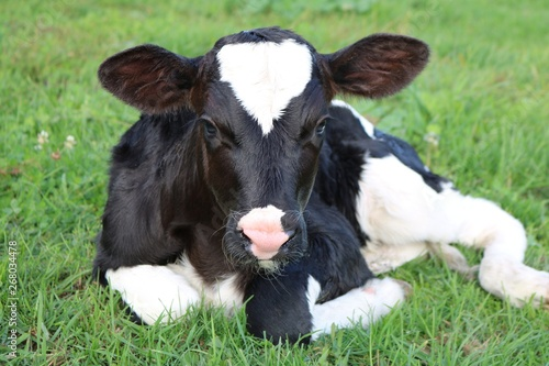 Fotografia Close up of newborn Holstein calf laying in the meadow looking at camera