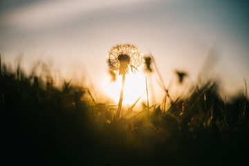 Warm summer evening with golden hour and dandelions