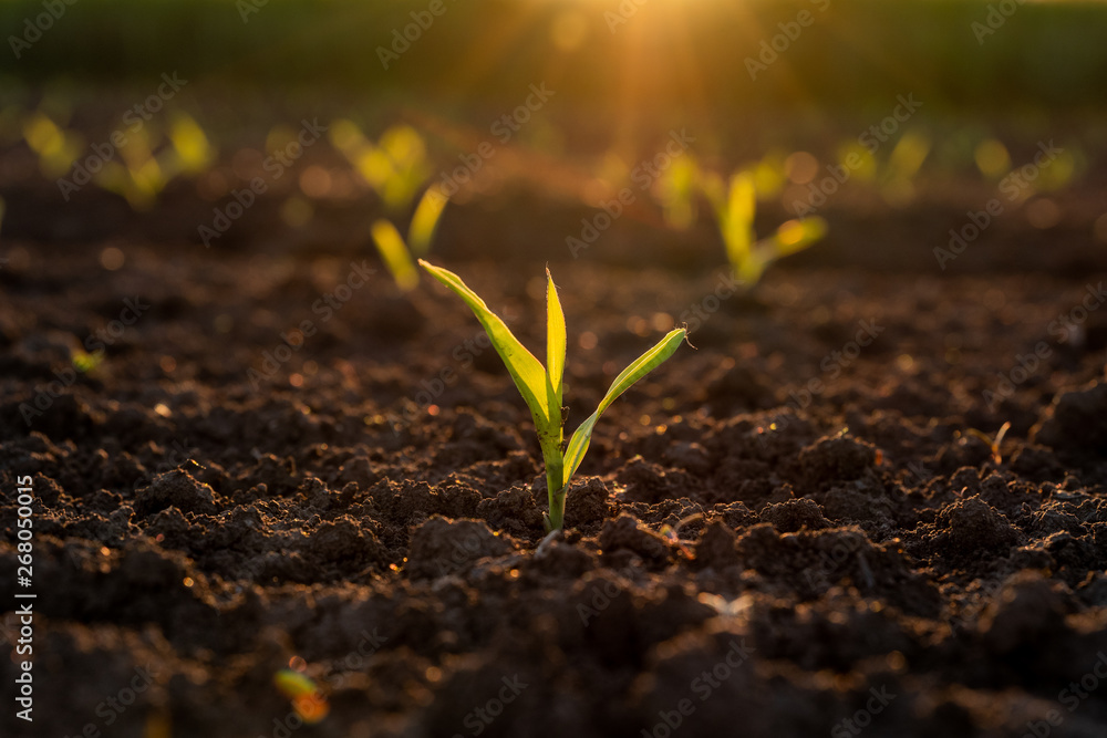 Fototapety, obrazy: Green corn maize plants on a field. Agricultural landscape