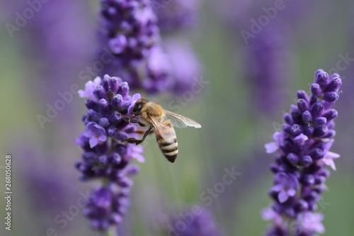 Lawenda i pszczoła - 268050628