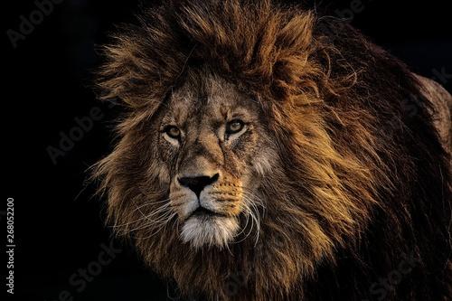 Ingelijste posters Leeuw Lion
