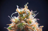 Macro detail of Cannabis flower (sour diesel strain) isolated over blac