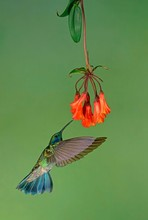 Mexican Violetear (Colibri Thalassinus) In Flight, Drinking Nectar On A Red Flower, Costa Rica, Central America