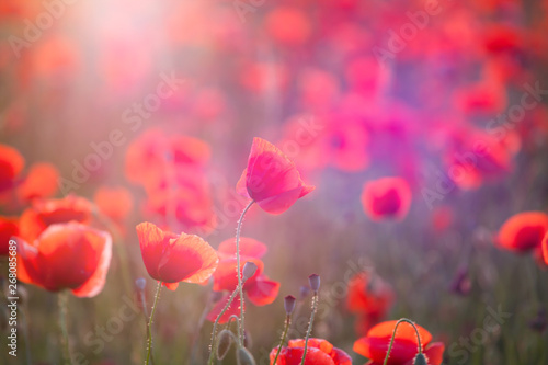 In de dag Poppy Poppy field