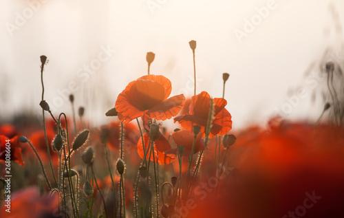 Vivid poppy field - 268086604