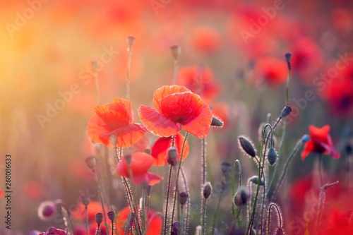 Foto op Canvas Poppy Poppy field