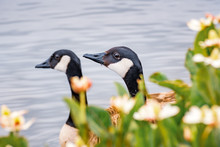 The Heads Of A Pair Of Canada Geese (Branta Canadensis) Visible Behind Flowers Blooming On The Shoreline Of A Lake, Mountain View, San Francisco Bay Area, California