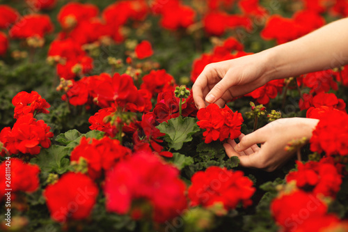 Women's hands hold beautiful red geranium flowers in the garden Wallpaper Mural