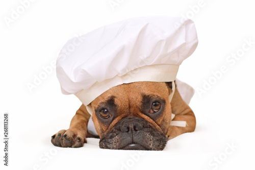 Fototapeta Funny brown French Bulldog dog lying on ground dressed up as cook wearing a chef