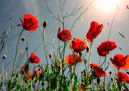 Canvas Prints Poppy Red poppy flowers