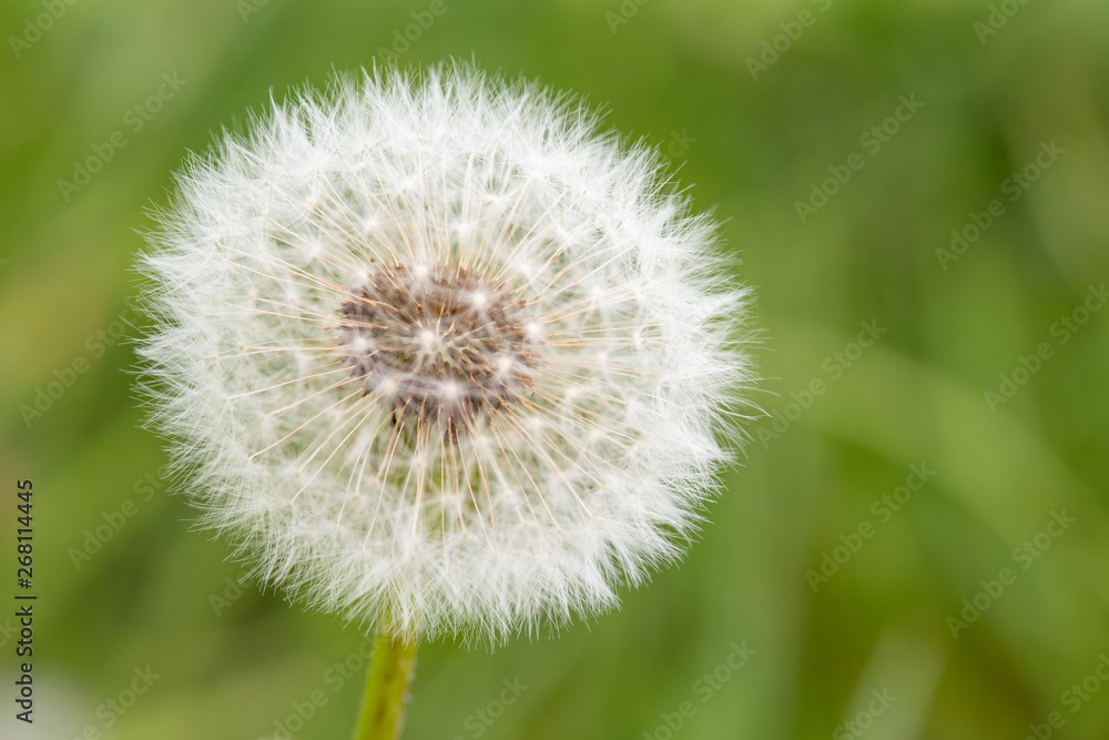 Fototapety, obrazy: Fluffy white dandelion flower with seeds in nature on meadow. Dandelions field on spring sunny day. Blooming dandelion on green background.