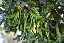 Carob Tree. Ceratonia Siliqua, Commonly Known As The Carob Tree Or Carob Bush. Healthy Organic Sweet Carob Pods With Seeds And Leaves. Healthy Eating.