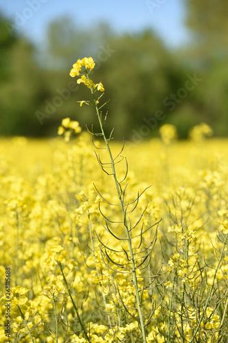 Papiers peints Jaune agriculture agricole vert bio environnement terre planete climat climatique rural ruralite campagne paysage Wallonie meteo culture colza carburant
