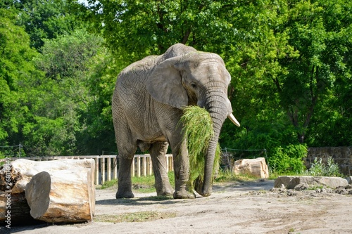 African elephant (Loxodonta africana) carrying grass in his mouth Wallpaper Mural