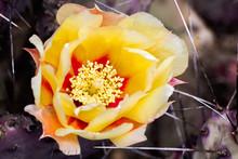 Close Up Of Prickly Pear (Opuntia Fragilis) Cactus Flower, California