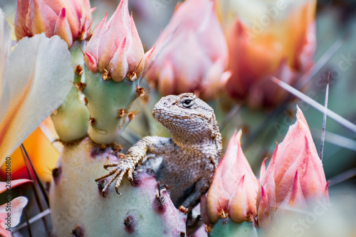 Photo  Western fence lizard (Sceloporus occidentalis) sitting among blooming Prickly Pe