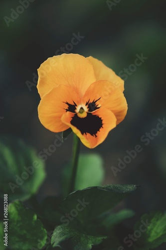 Papiers peints Pansies Macro of single orange pansy flower. Dark, green, soft bokeh background with blur