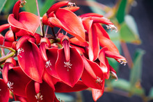 Cockspur Coral Tree (Erythrina...