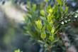Leaves of a common myrtle, Myrtus communis